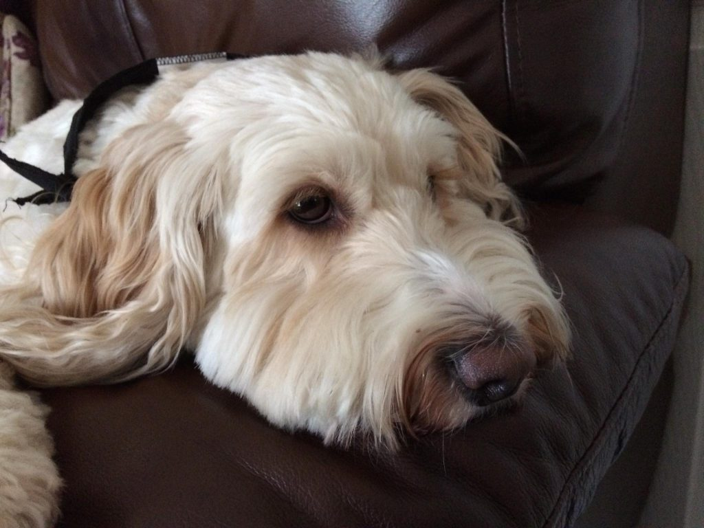 white cockapoo laid on brown chair arm looking sad about essential oil odour
