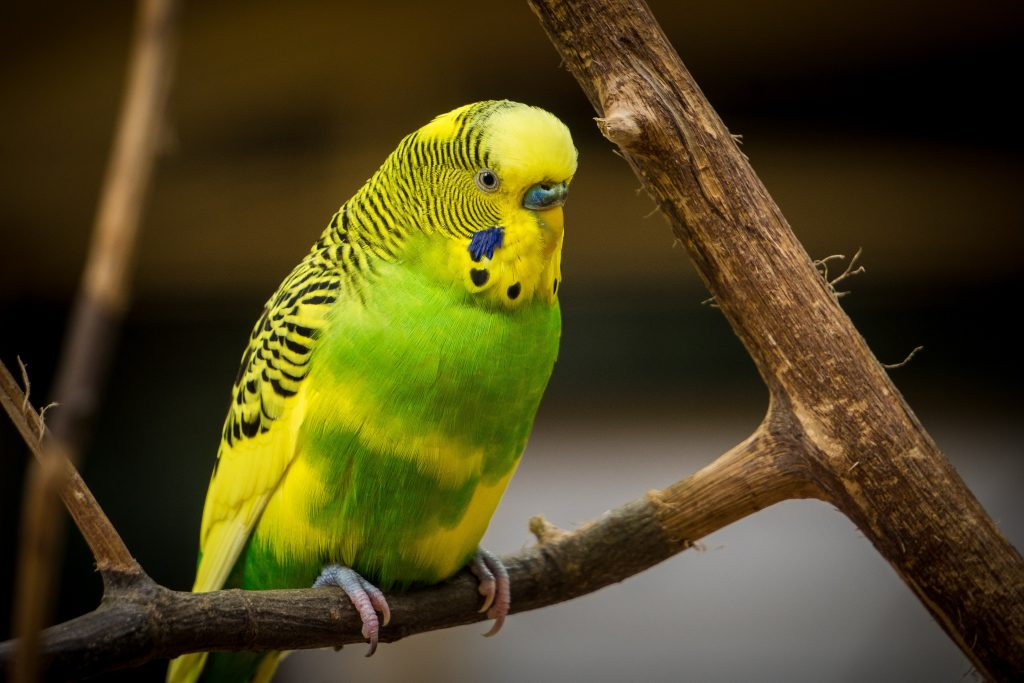 green-yellow-budgie-on-tree-branch
