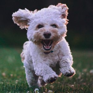 white puppy dog running through grass
