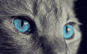 grey cat face with blue eyes