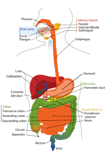digestive system map for nutrient flow