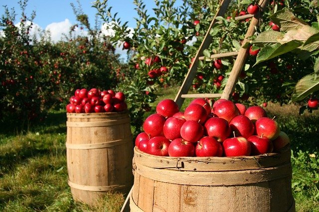 sustainable living apples in barrel