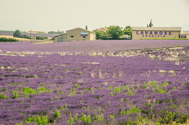 lavender-high-quality-essential-oil-farm